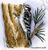 Downy Woodpecker on tree   per stuk