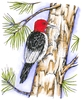 Red Headed Woodpecker on Pine tree   per stuk
